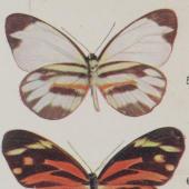 Studying the butterfly - Punnett