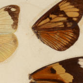 Studying the butterfly - Darwin