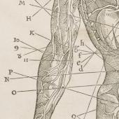 Estienne's veins and arteries
