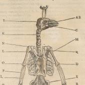 Belon's human and bird skeletons